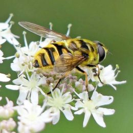 Myathropa florea from the side